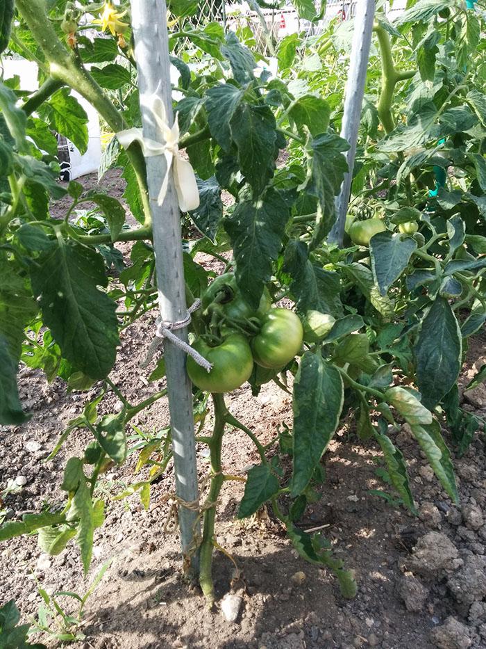 tomato20150531.jpg